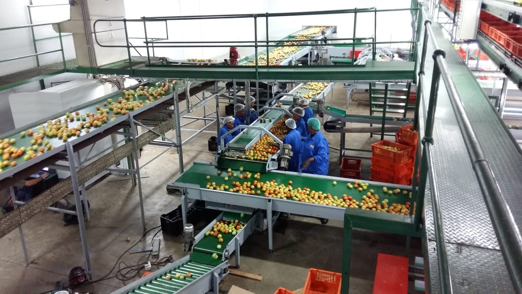 ZZ2 tomatoe going through the sorting process in the packhouse