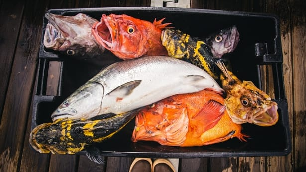 Tote full of salmon and rockfish caught on a fishing charter out of Homer, Alaska