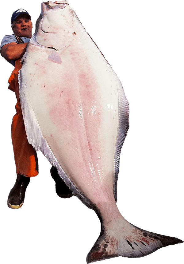 Massive halibut held by Deepstrike Sportfishing's deckhand charter fishing in Homer, Alaska