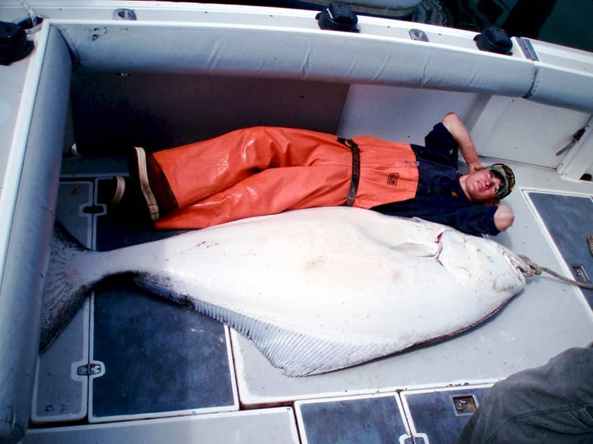 Homer, Alaska charter fishing deckhand with DeepStrike Sportfishing laying beside a huge halibut catch bigger that is than he is!