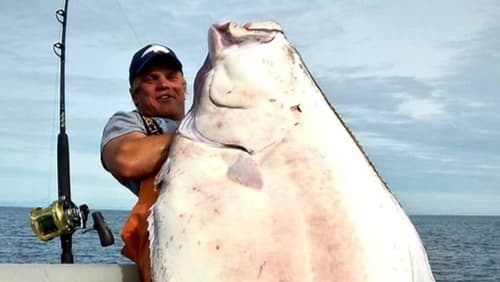 Massive halibut caught aboard DeepStrike Sportfishing's charter boat featured in Adventure Sports Network