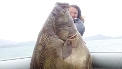 Girl deckhand hoisting huge halibut near Homer, Alaska