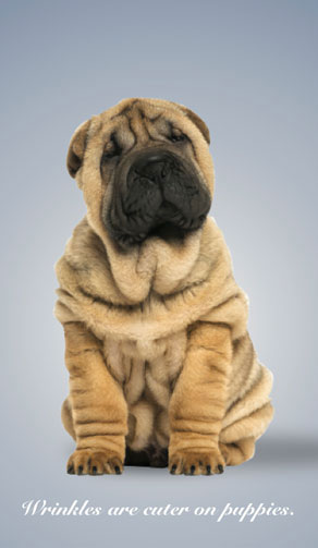 """Wrinkly puppy with caption, """"wrinkles are cuter on puppies"""""""