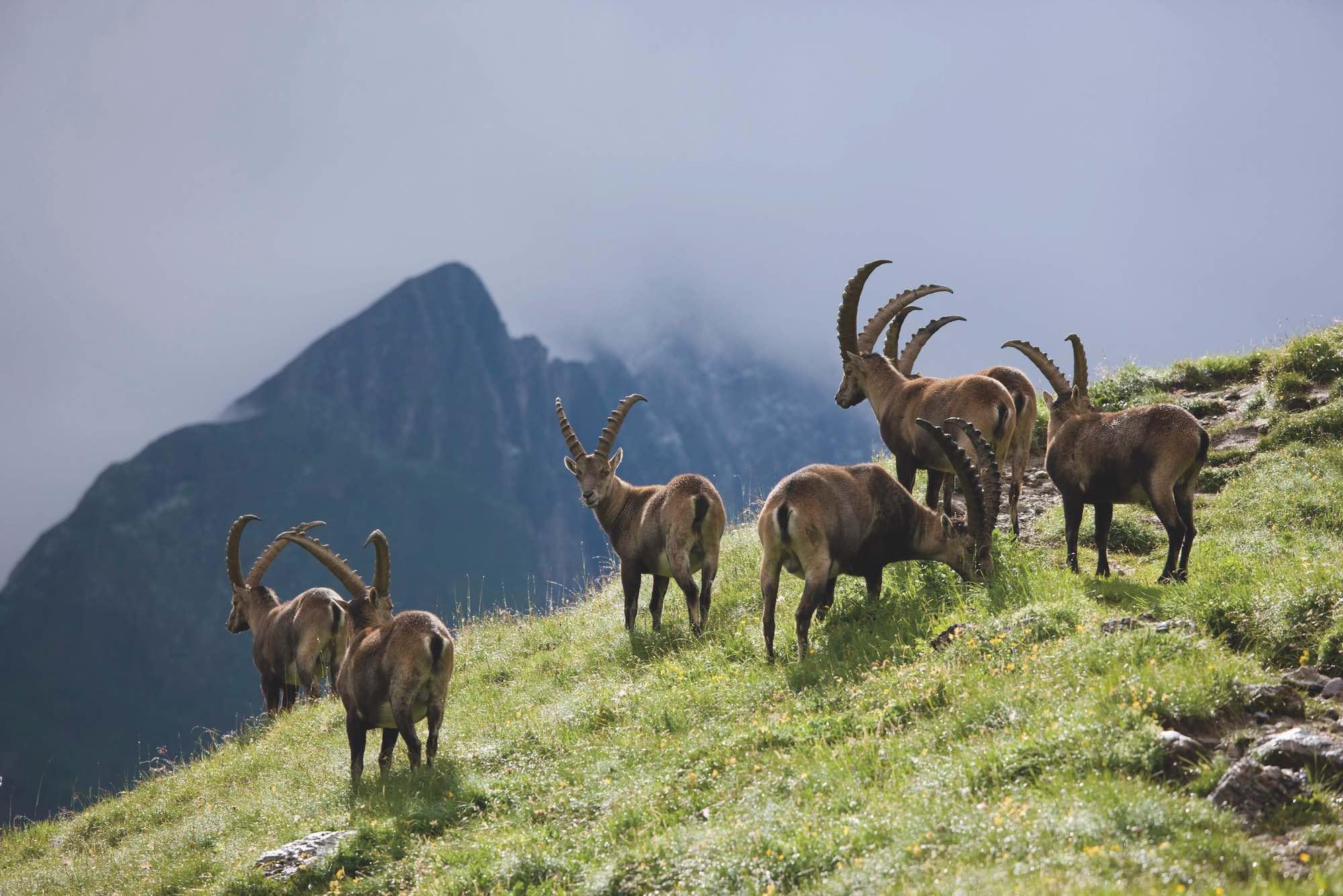 Alpine Ibex Hohe Tauren National Park Austria