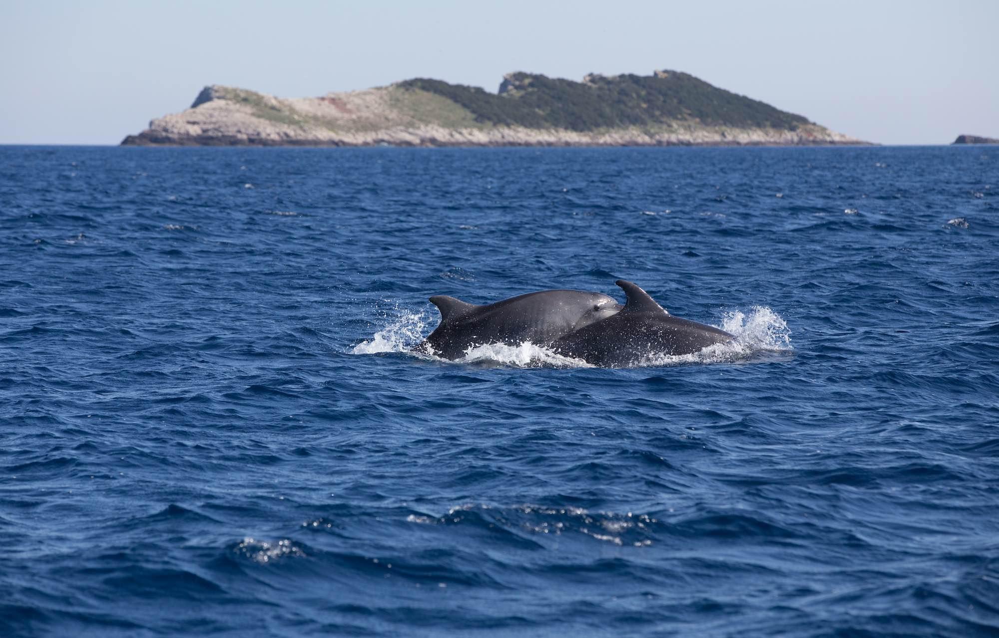Bottlenose dolphin Vis Island Croatia