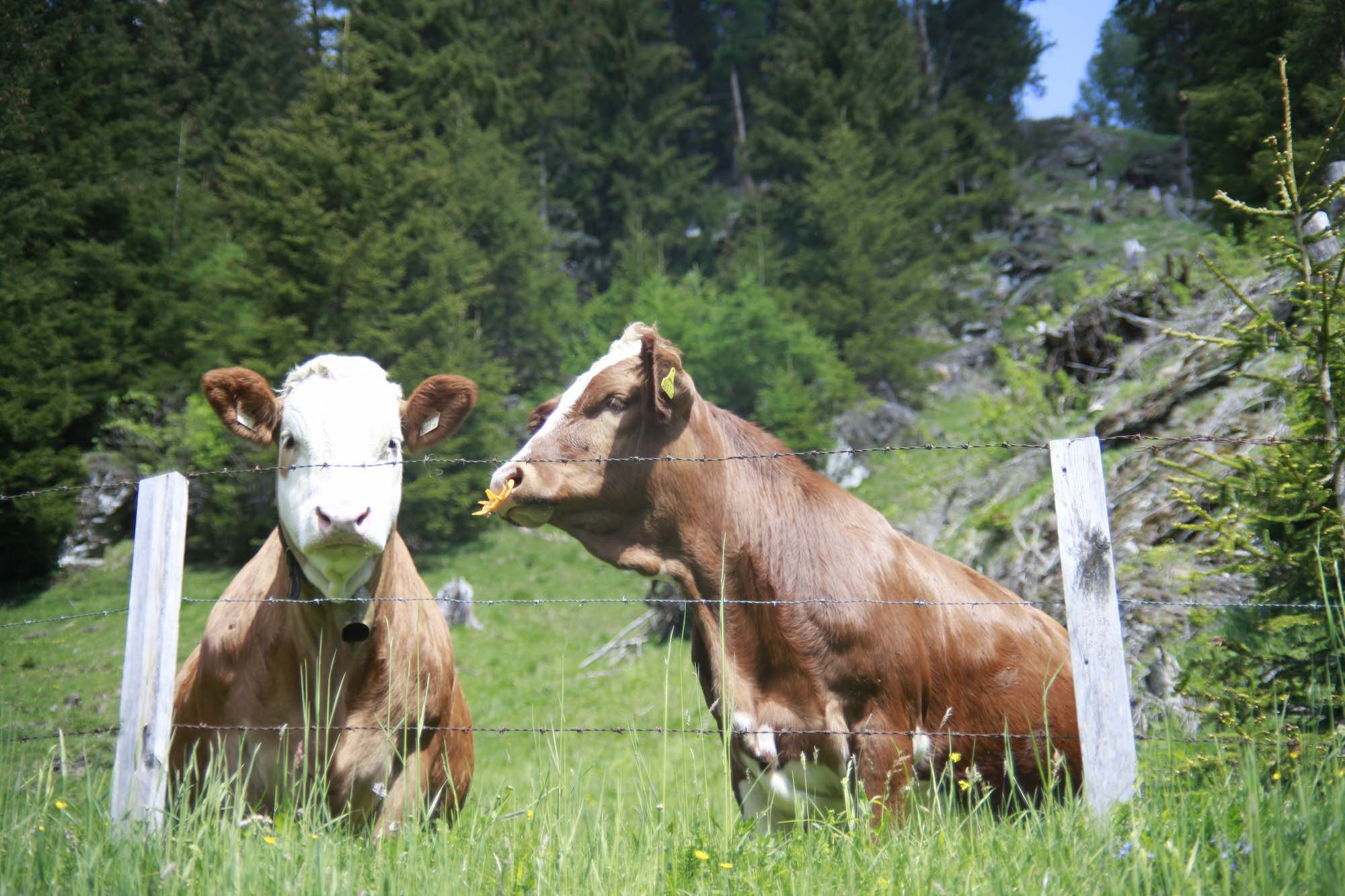 Alpine cows grazing in the Spring Austrian Sun
