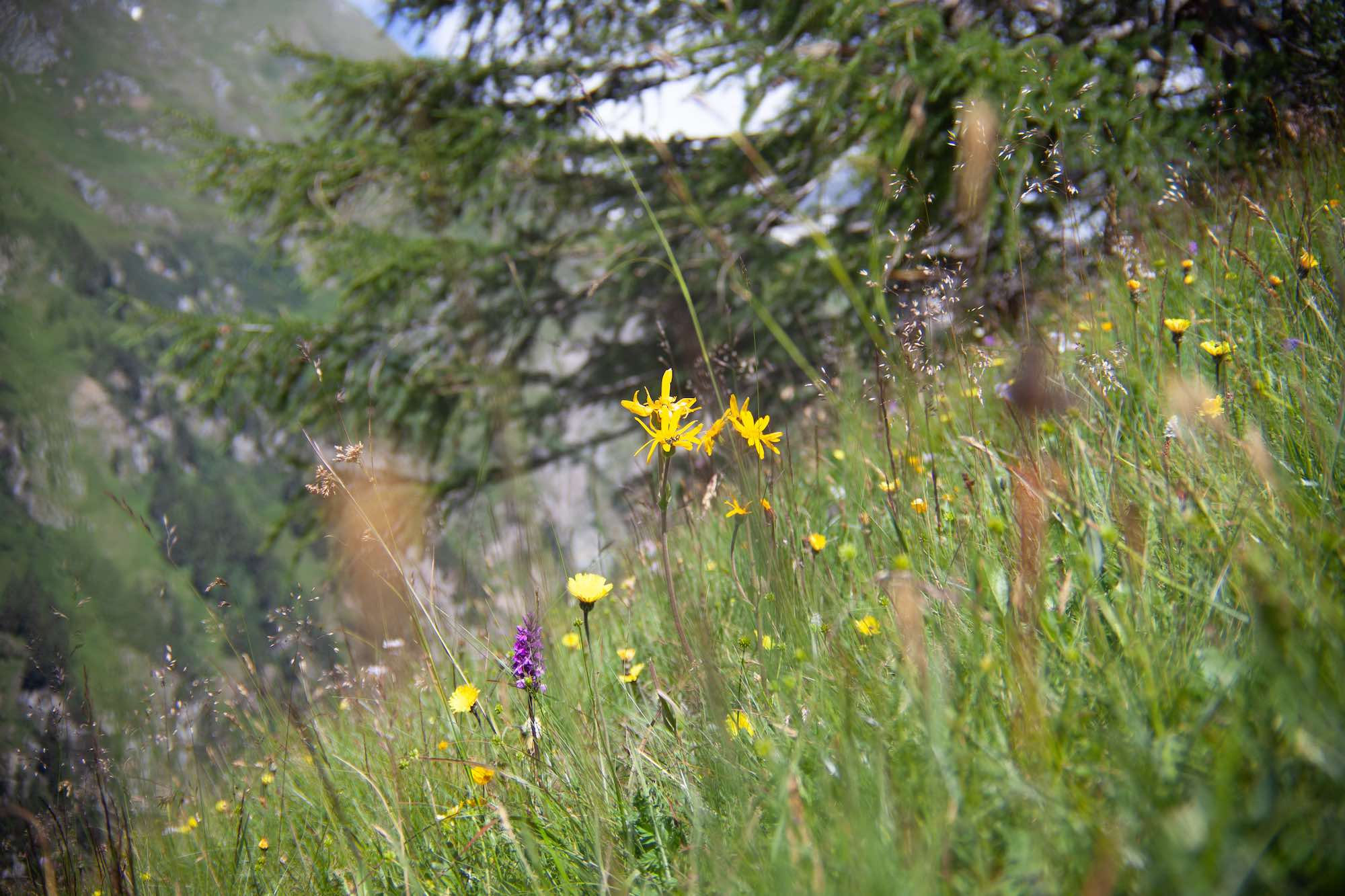 Alpine flowers Hohe Tauren National Park Austria