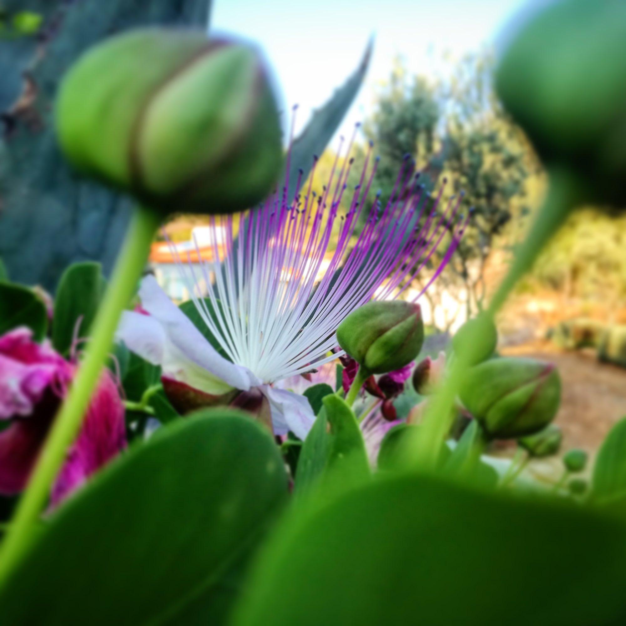 Caper plants, Vis Island Croatia