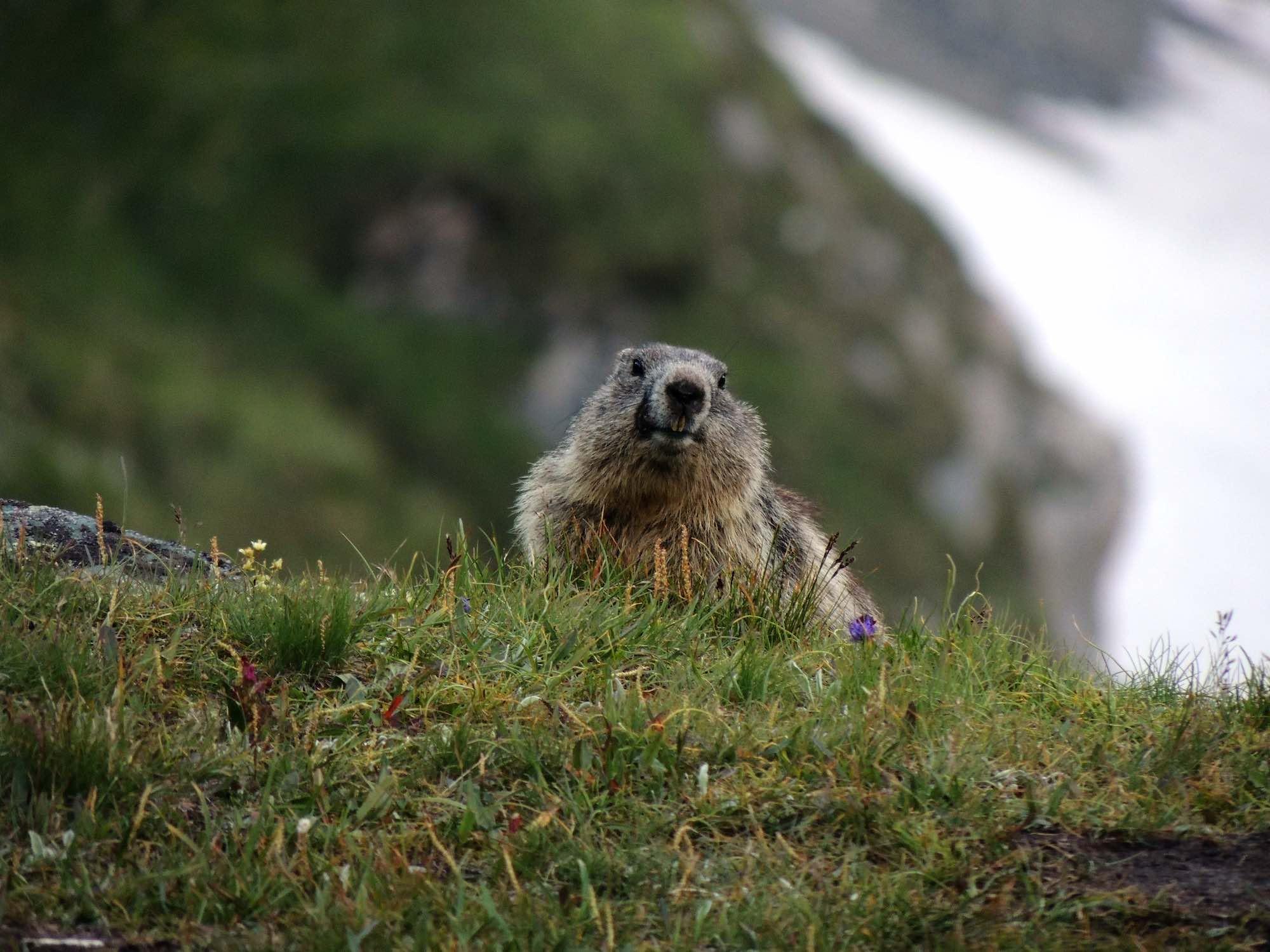 Marmots in Austria