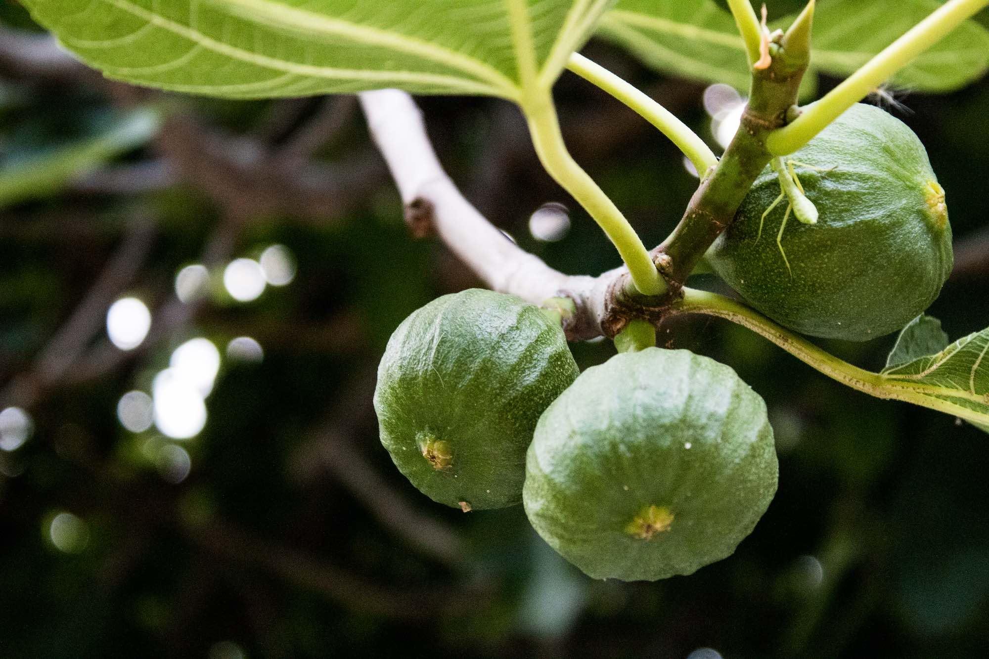 Fresh figs, Vis Island Croatia
