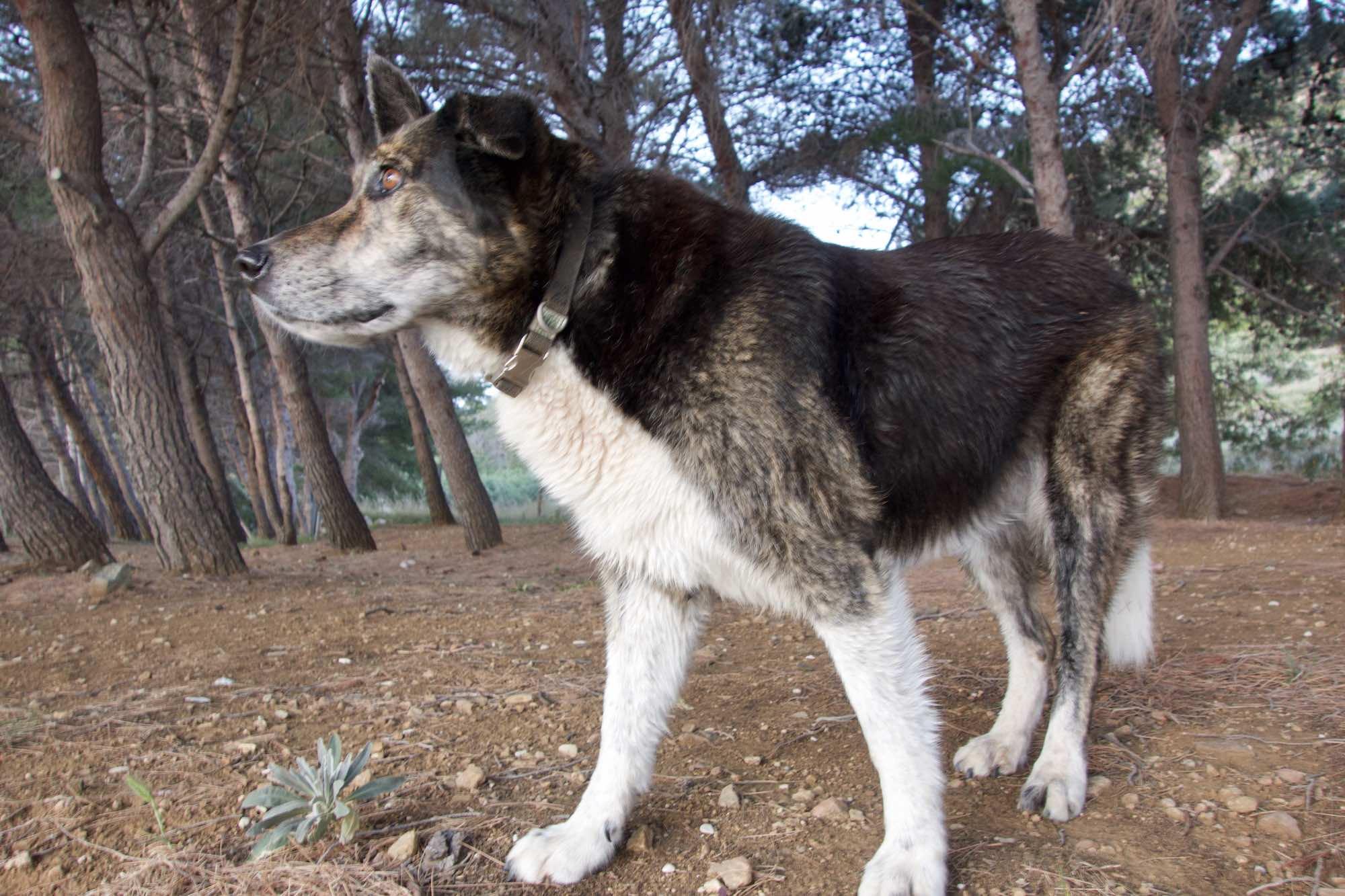 Zora, our Vis Island Dog