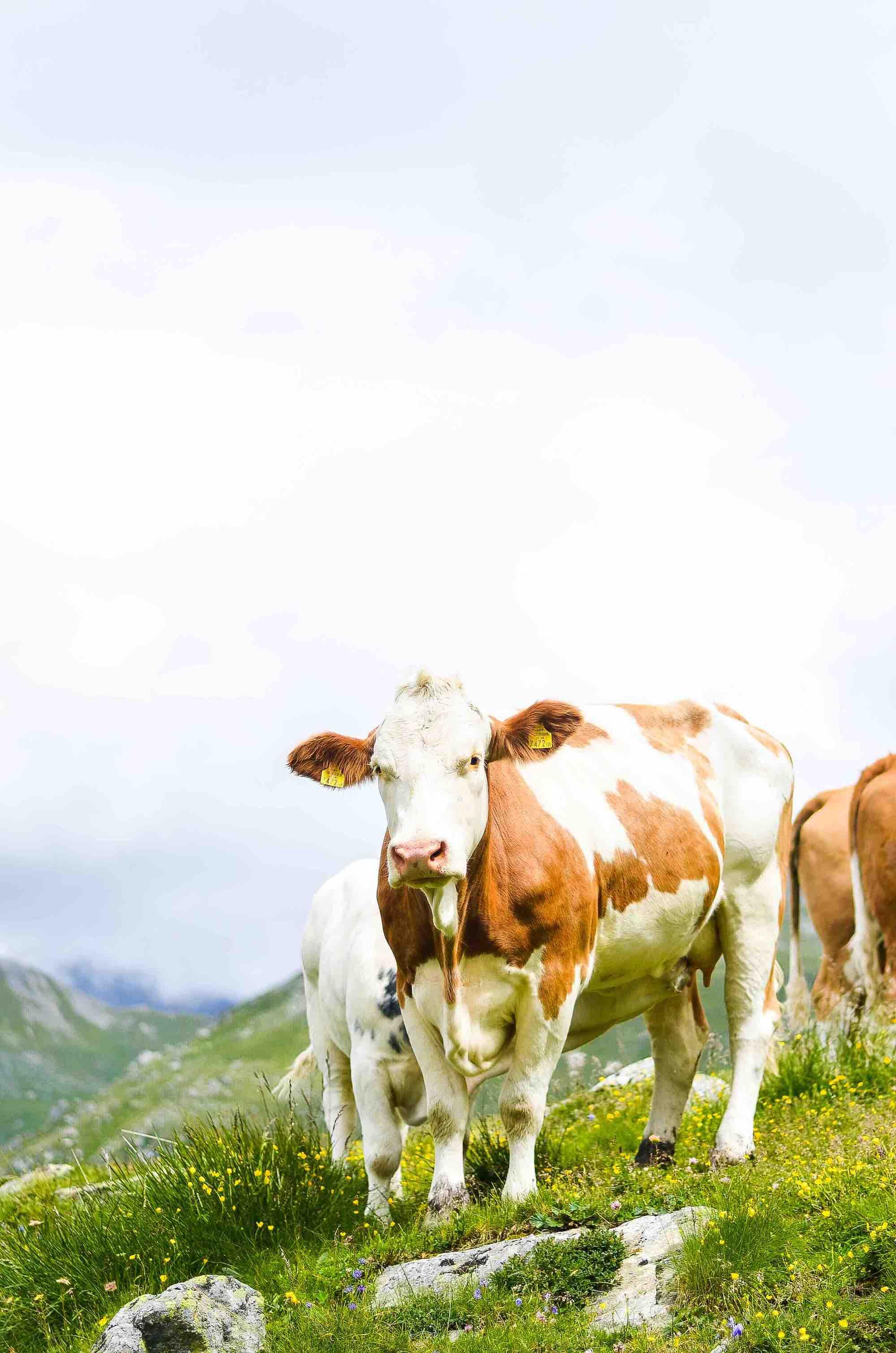 Alpine cow grazing in the Austrian Alps
