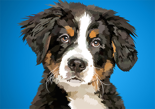 Bernese mountain dog - NL