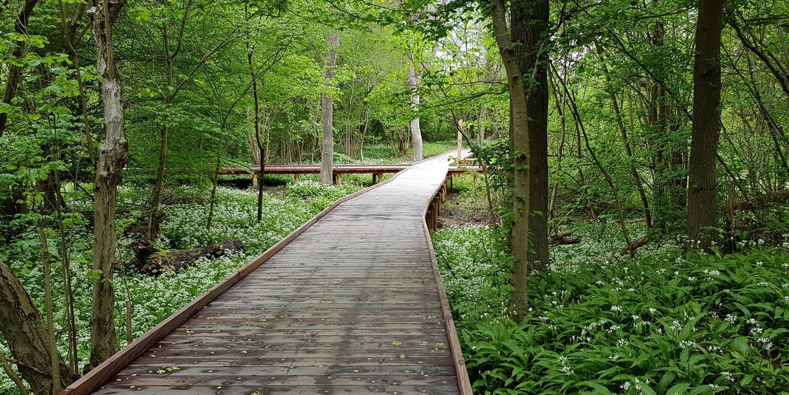 En boardwalk der løber gennem en skov med træer og ramsløg i skovbunden på begge sider