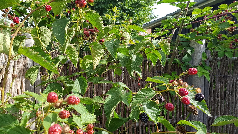 Fra haven i Ringsted Krisecenter. Her er vi helt inde i en brombærbusk med næsten modne bær på grenen.