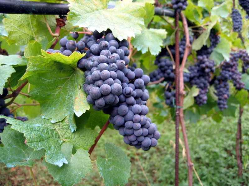 Picture of wine grape cluster