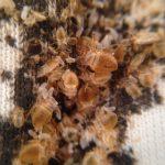 adult bed bug cimex lectularius