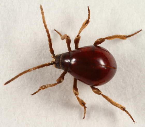 adult bed bug on human skin