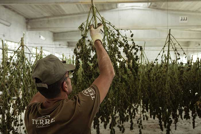 cannabis hanging to cure in shop n grow indoor with man