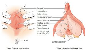 Anatomy of the vulva and clitoris