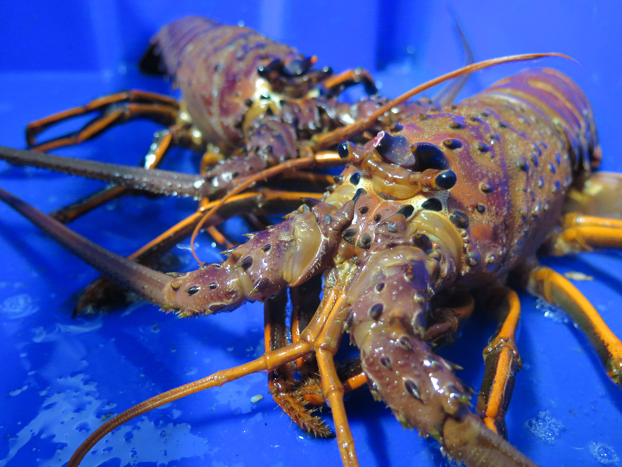 The California Spiny Lobster Season just opened today, and we're fired up because we ALREADY have First of Season Lobsters in many of our restaurants!