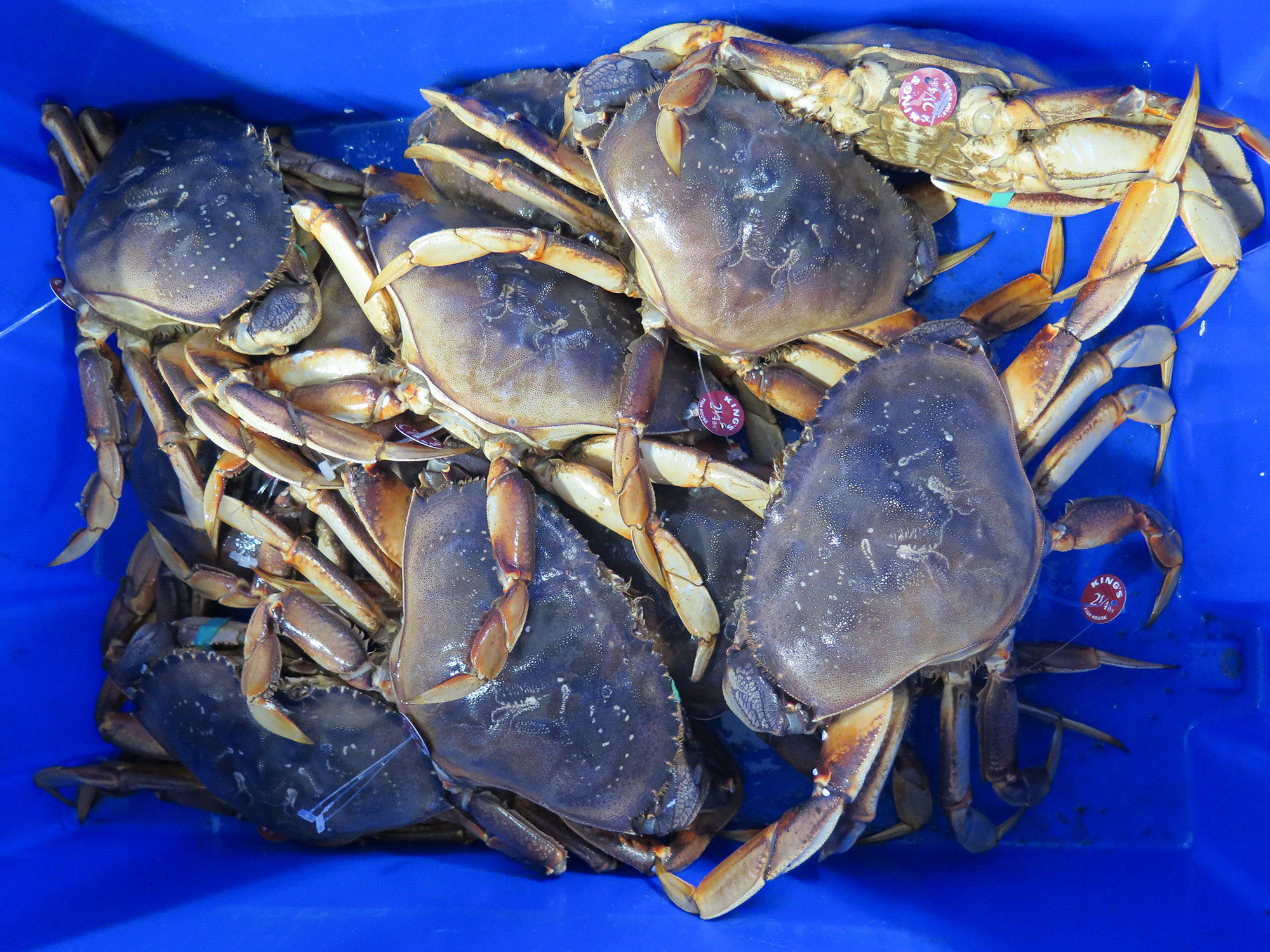 Everyone in the local seafood industry is anxiously awaiting the start of the Dungeness Crab season in California!