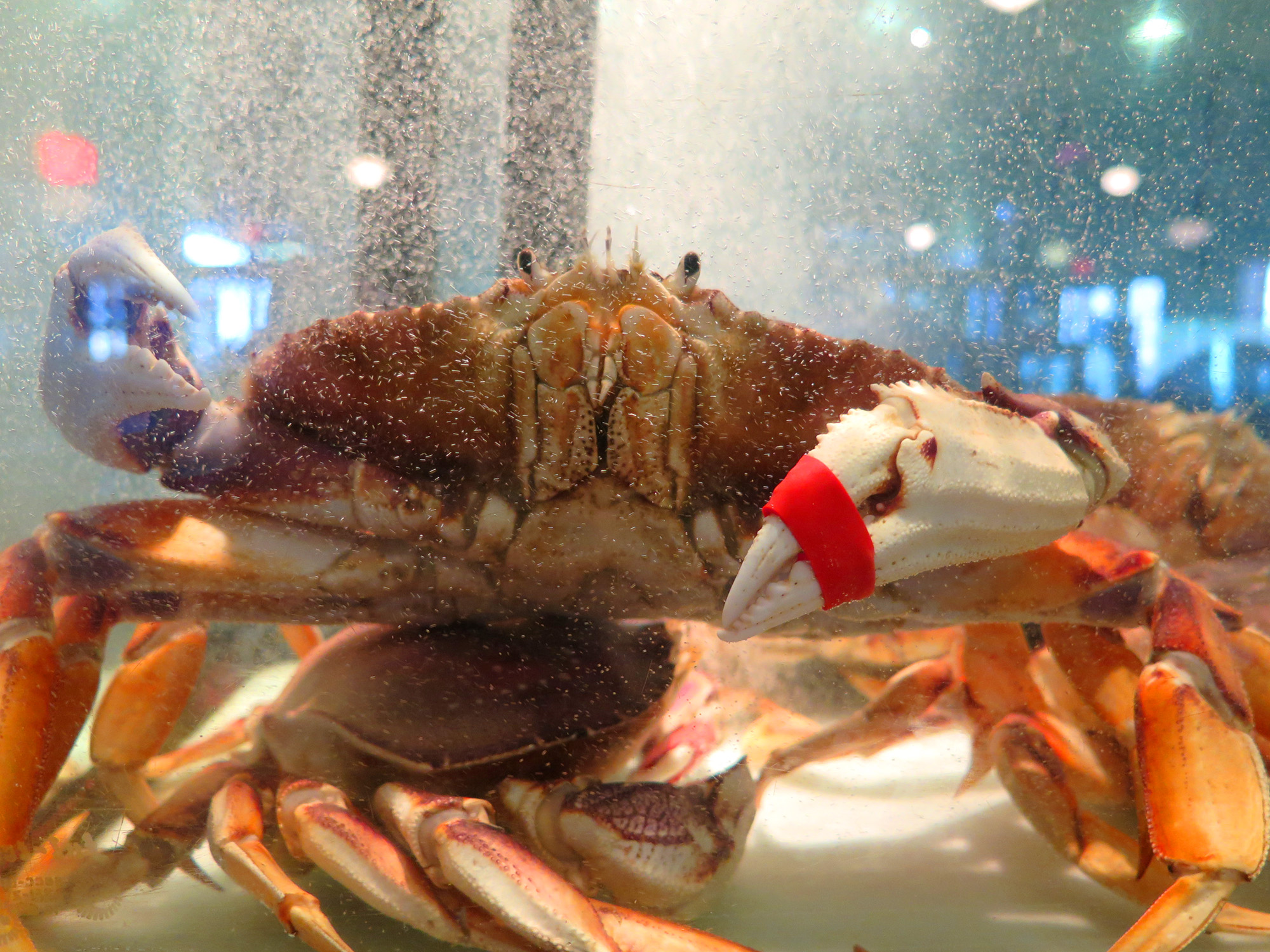 The Dungeness Crab season in California is now delayed again