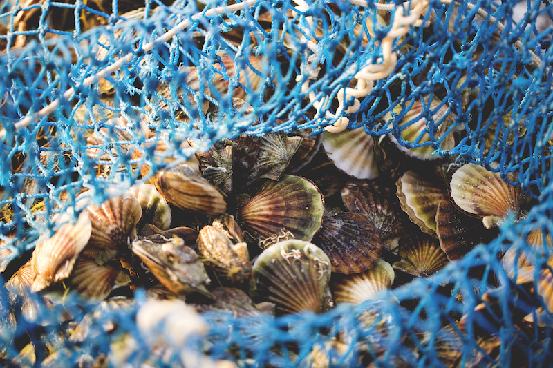 Nantucket Bay Scallops are one of the most desired scallops around the world.