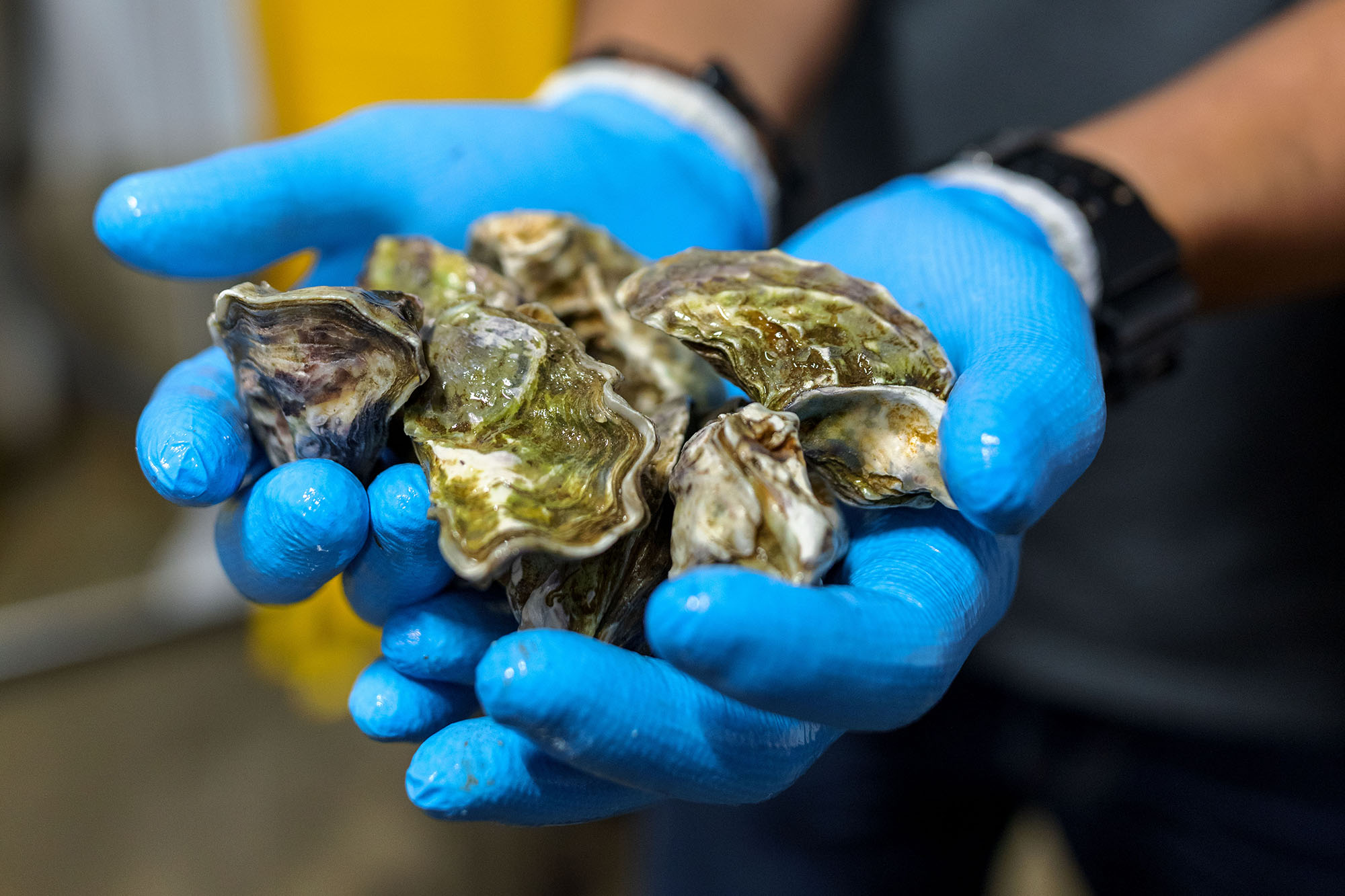 Our newest oyster has just arrived, straight from Orongo Bay, New Zealand!