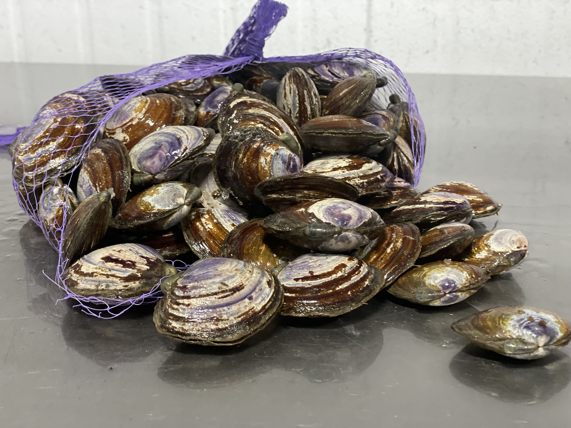 Purple Clams are actually more like mussels than Manila Clams. They range from small to medium in size and are a delicious choice for clam lovers.