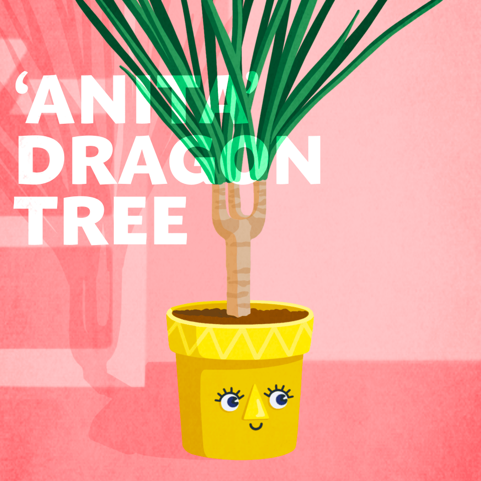 'Anita Dragon Tree' office plant