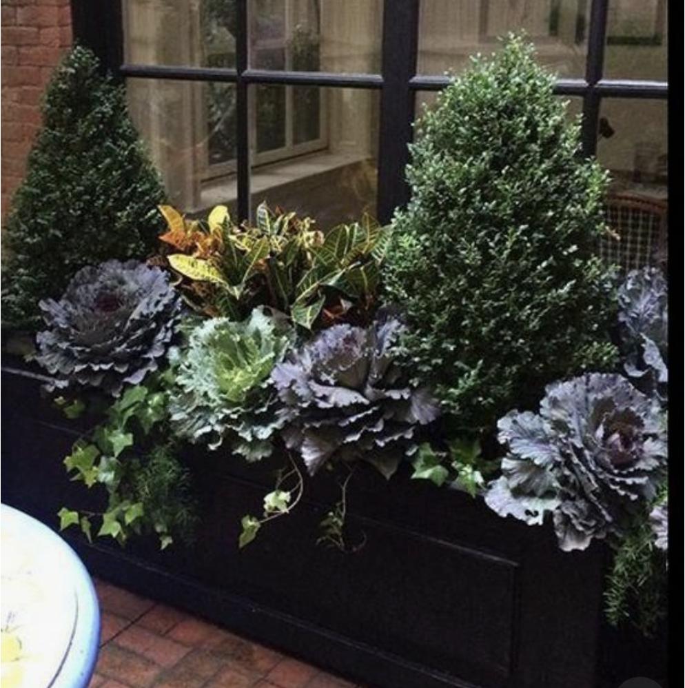 boxwood holiday planter