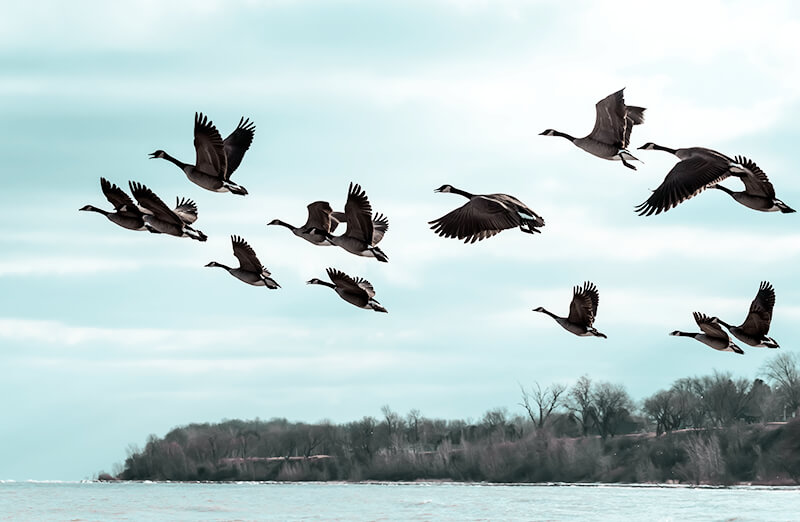 Image of a flock of flying birds - OttoLearn Microlearning