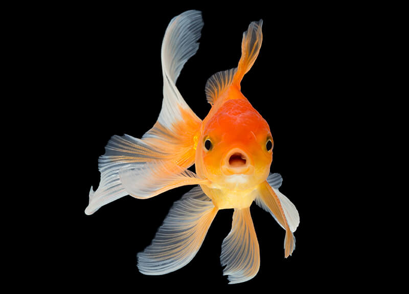 Image of a surprised goldfish on a black background.