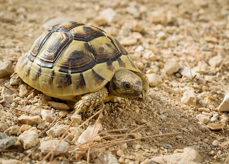 A turtle crawling across dirt and pebbles is stopped by a lump of dirt.