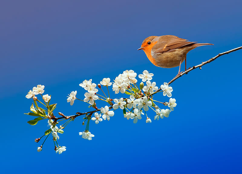 A robin, symbol for new beginnings, perches on a branch of cherry blossoms against a clear blue sky.
