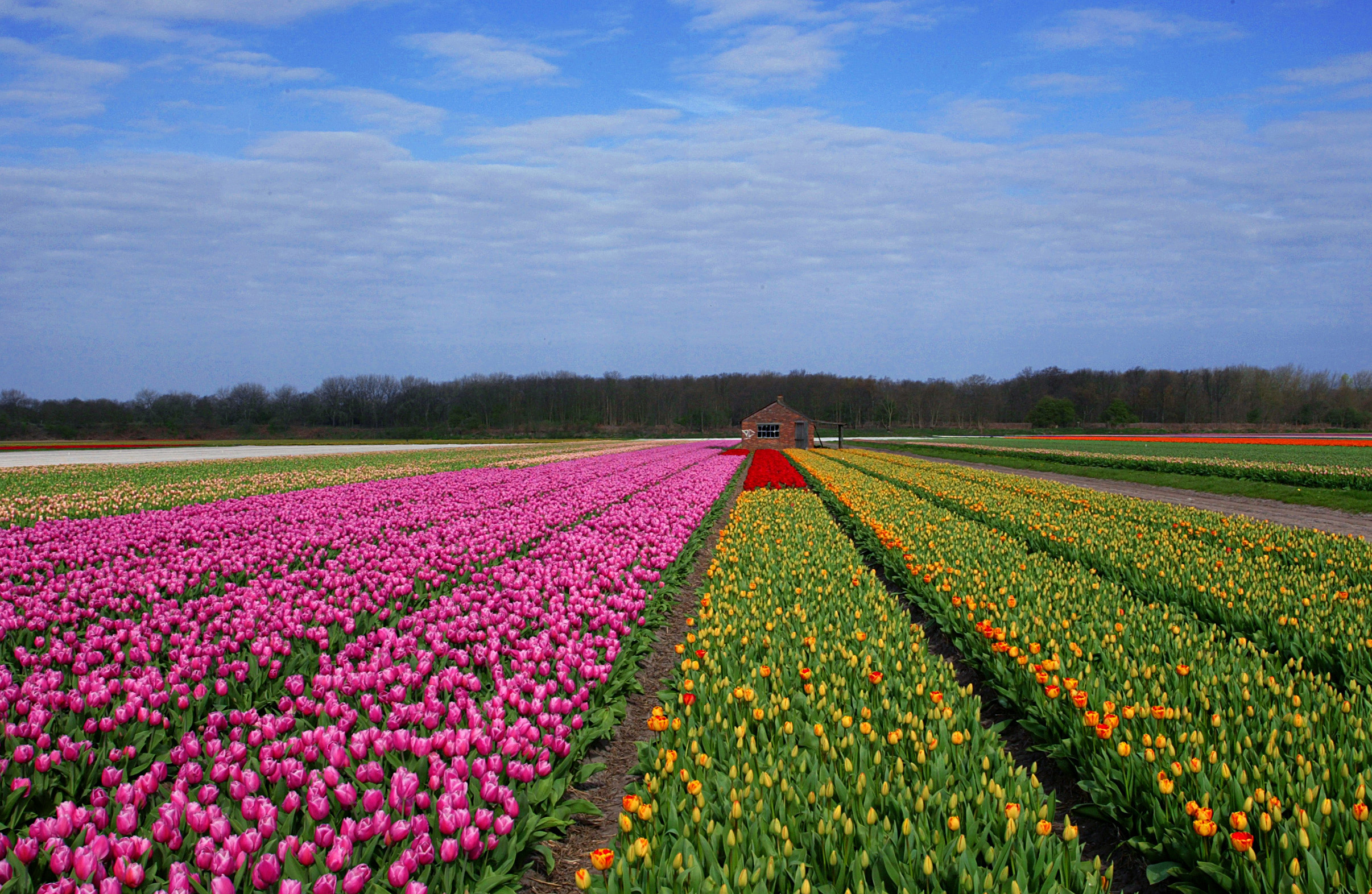 New Tulip field opened near San Antonio