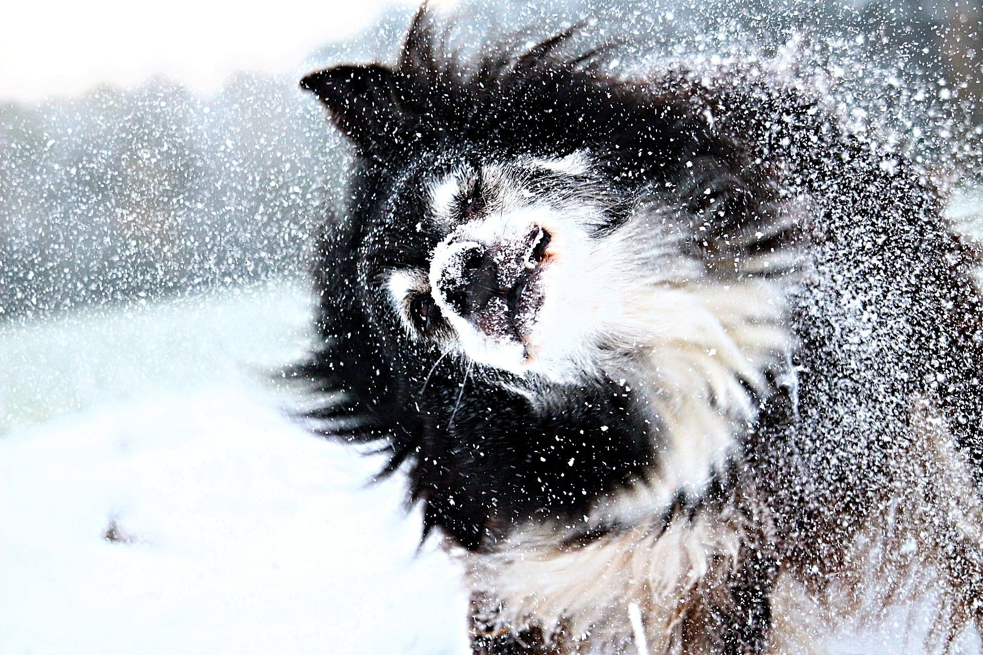 Dog shaking snow