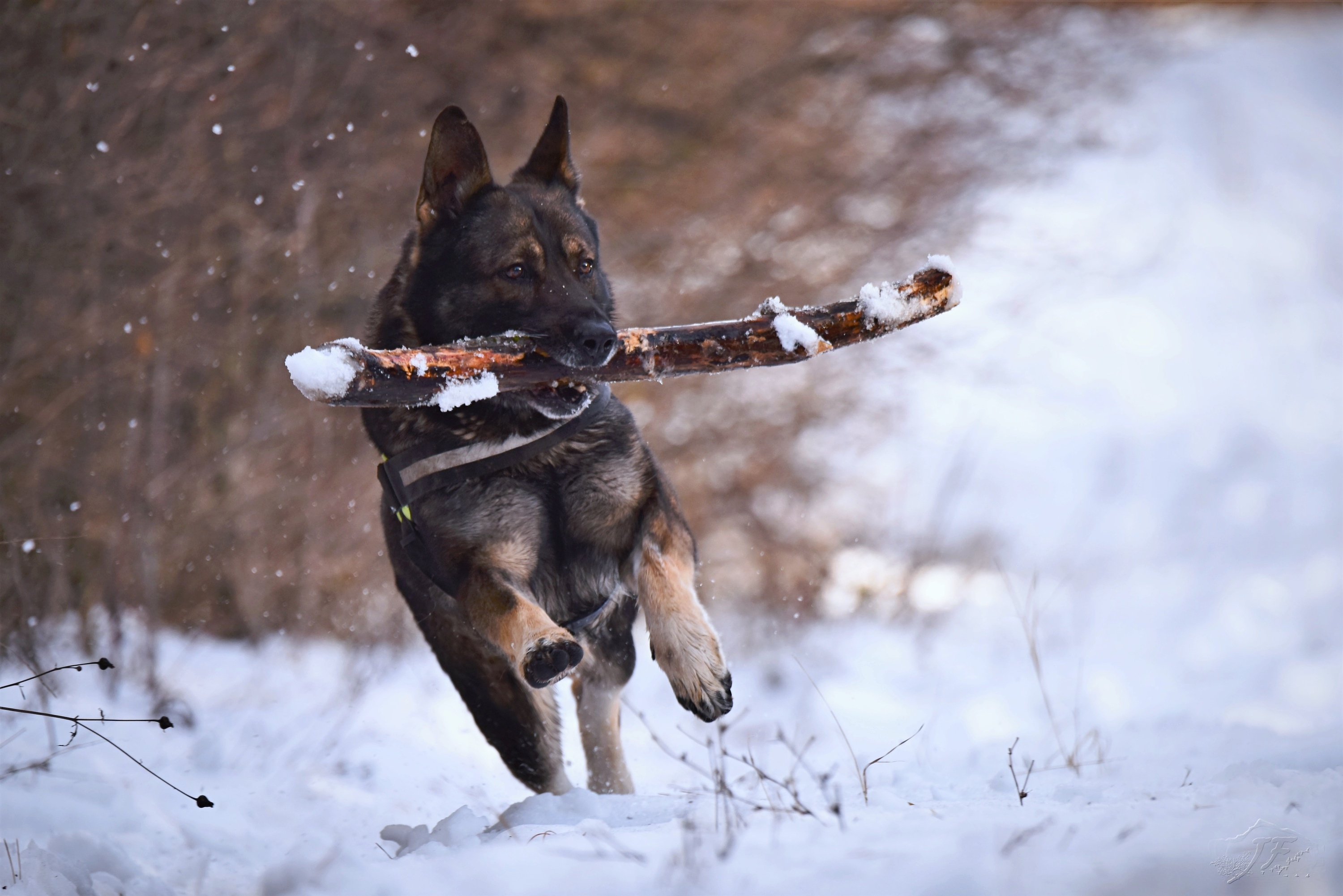 dog carrying stick in winter