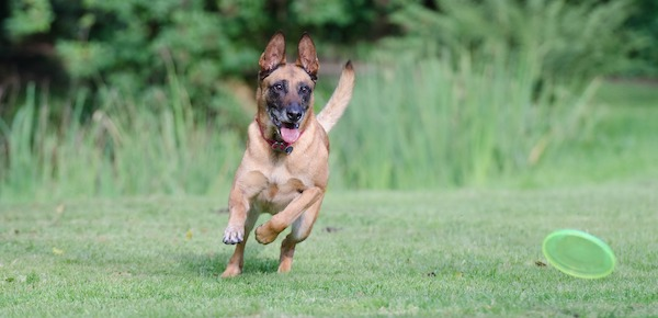 brown dog chasing green frisbee in grass