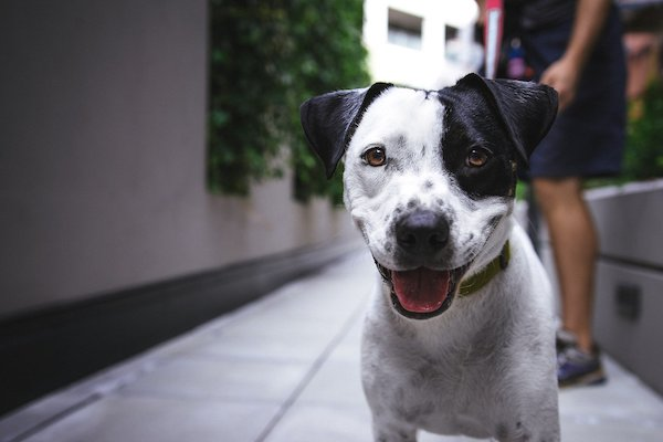 black and white dog walking down alley with owner