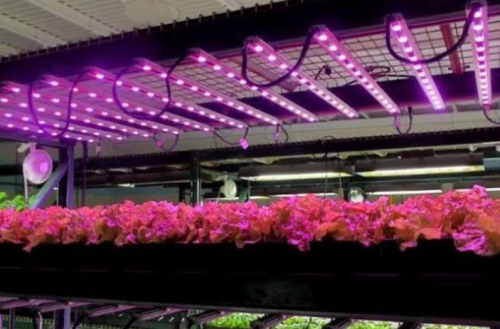 Contoh penggunaan lampu ultraviolet untuk tanaman