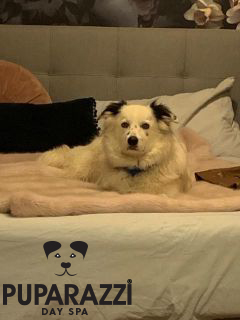 Border Collie birthday at Puparazzi Day Spa