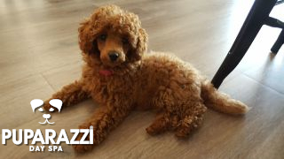 Shelby the Toy Poodle birthday at Puparazzi Day Spa