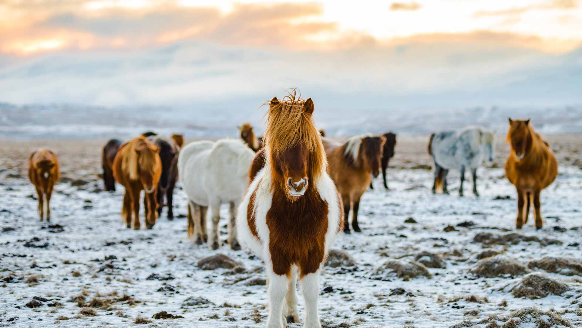 A group of Icelandic Horses waiting to take your team for a walk around Húsafell