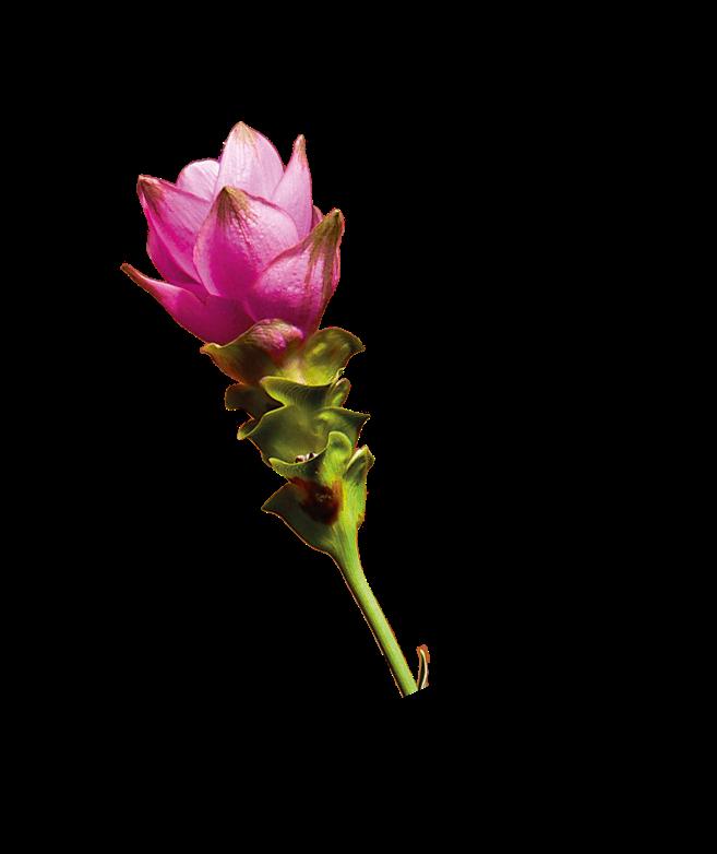 Fleur curcuma