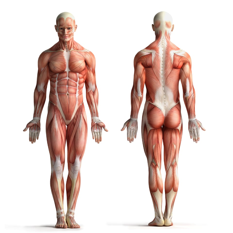 Whole Body Illustration