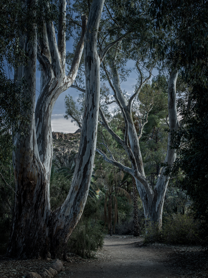 Moonlight, Eucalyptus Forest