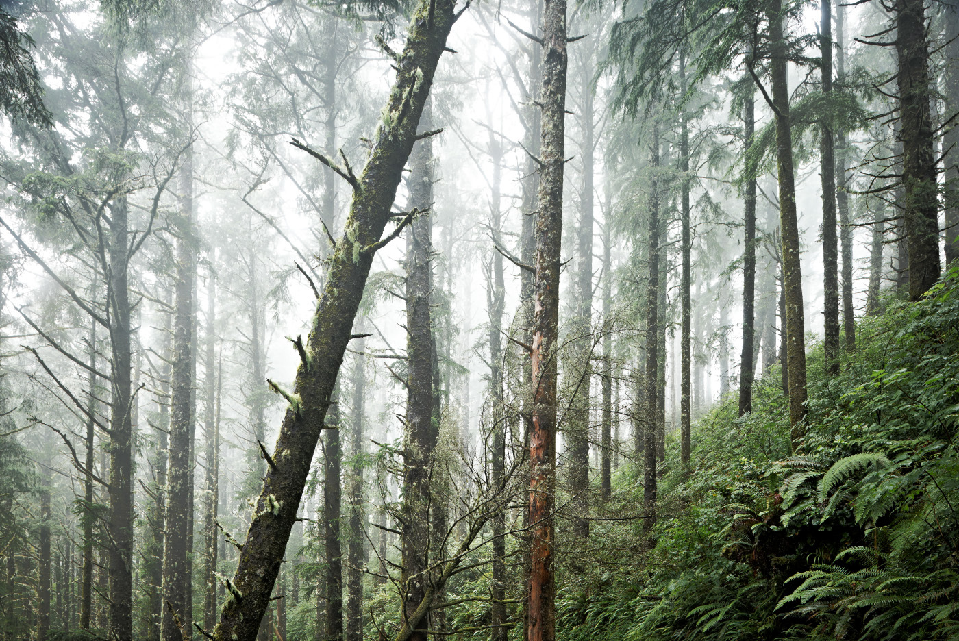 Fog Forest, Coastal Oregon