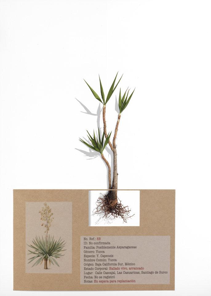 Ref. 8b Yucca Elephantipes/Capensis